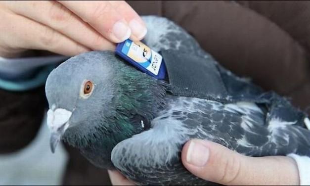 Porumbelul mesager 2011